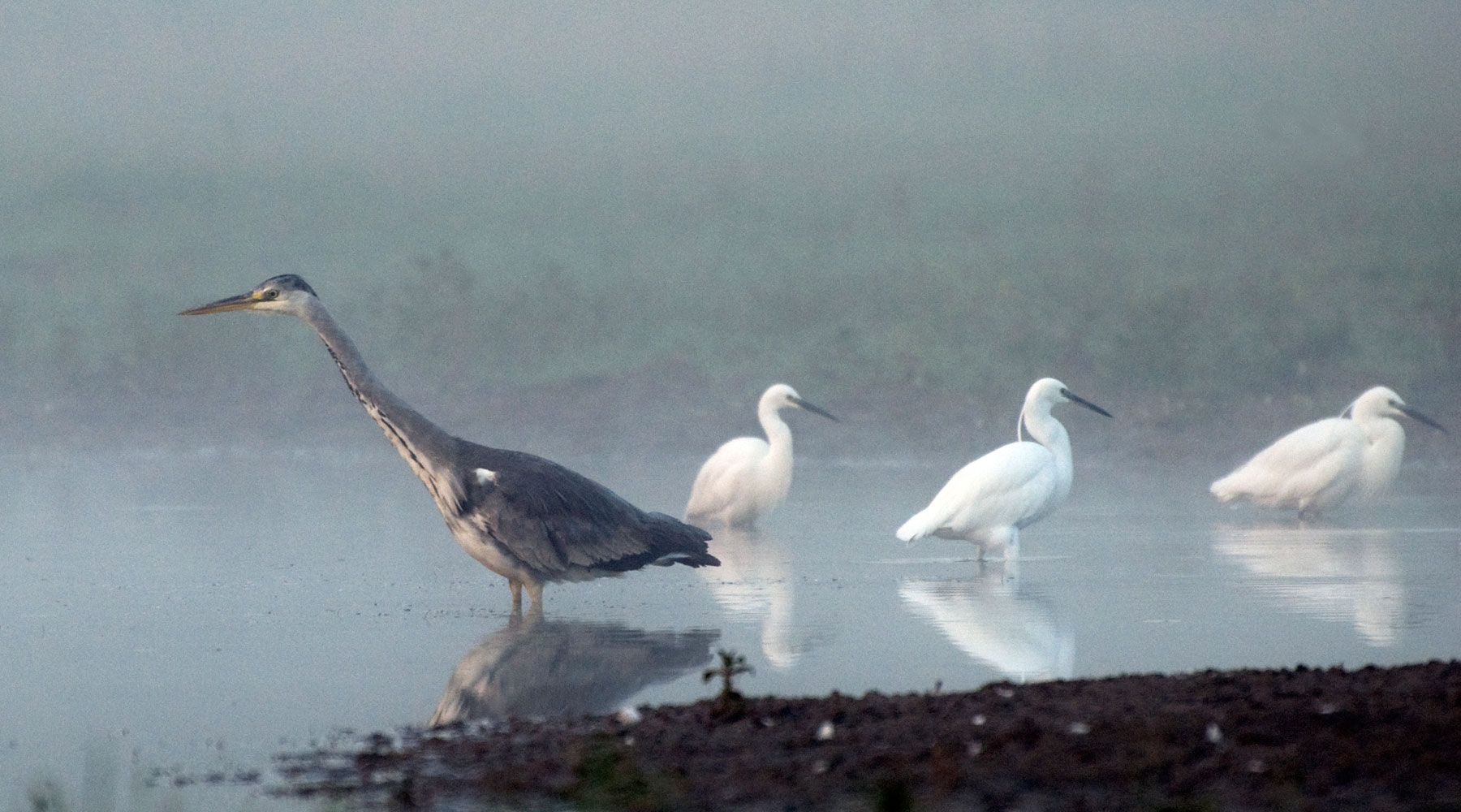 Suzsanna Bird | Heron and Little Egrets