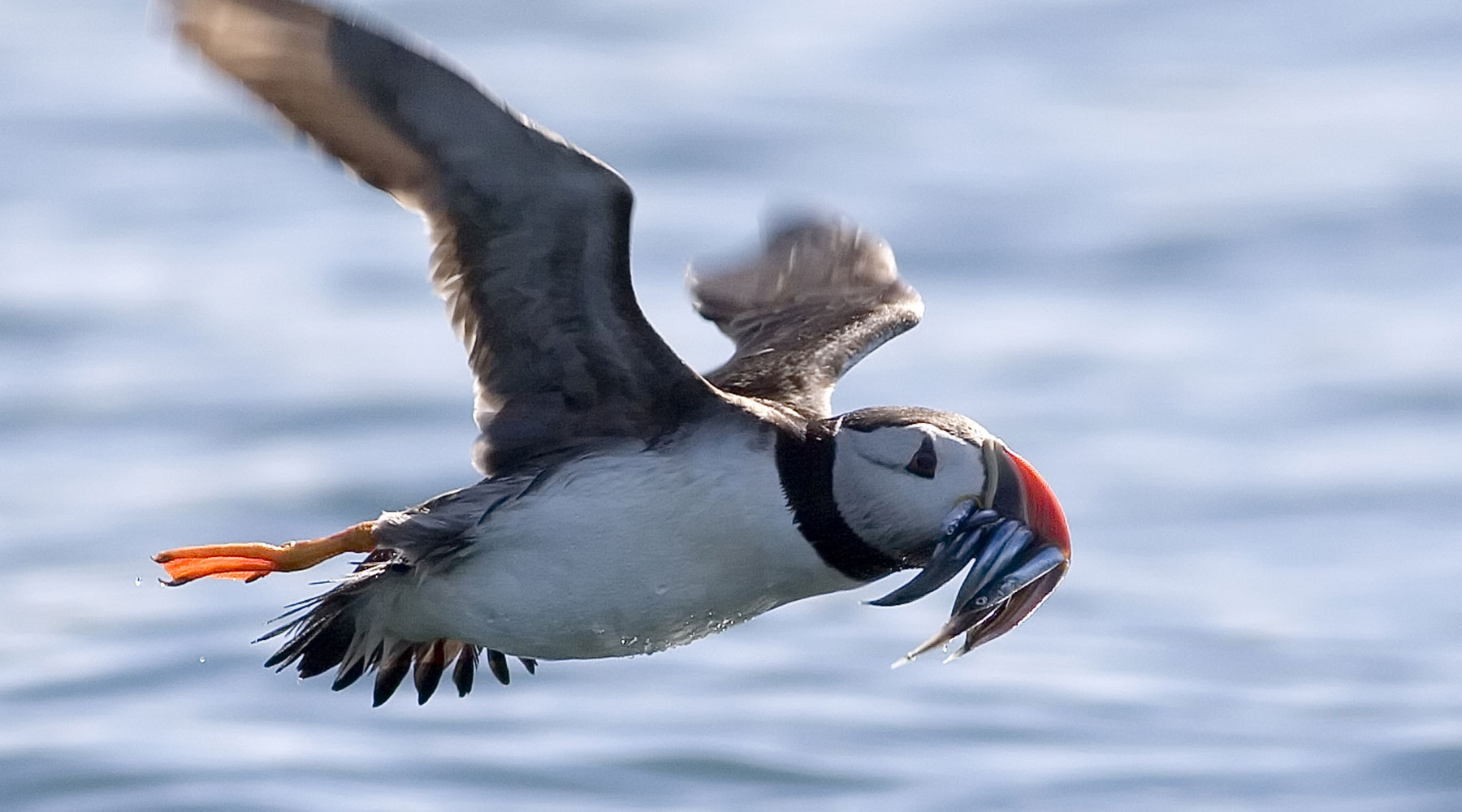 Damian Waters/Drumimages.co.uk | Puffin In Flight