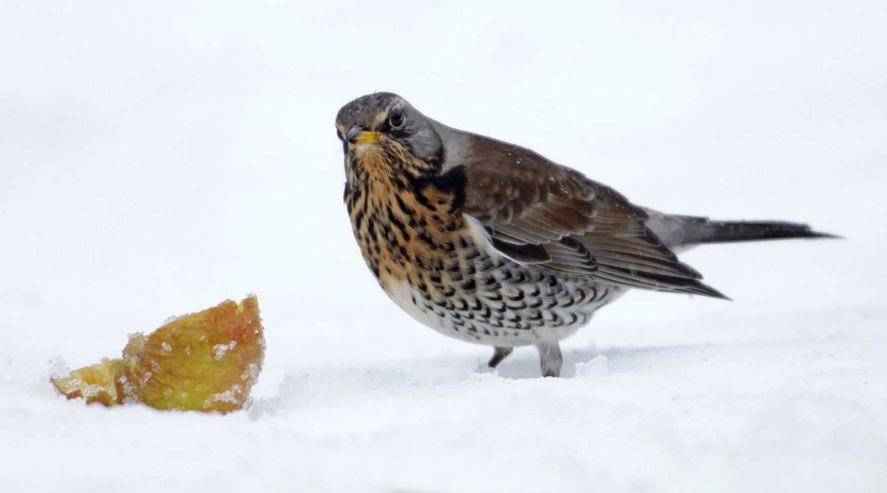 Margaret Holland | Fieldfare