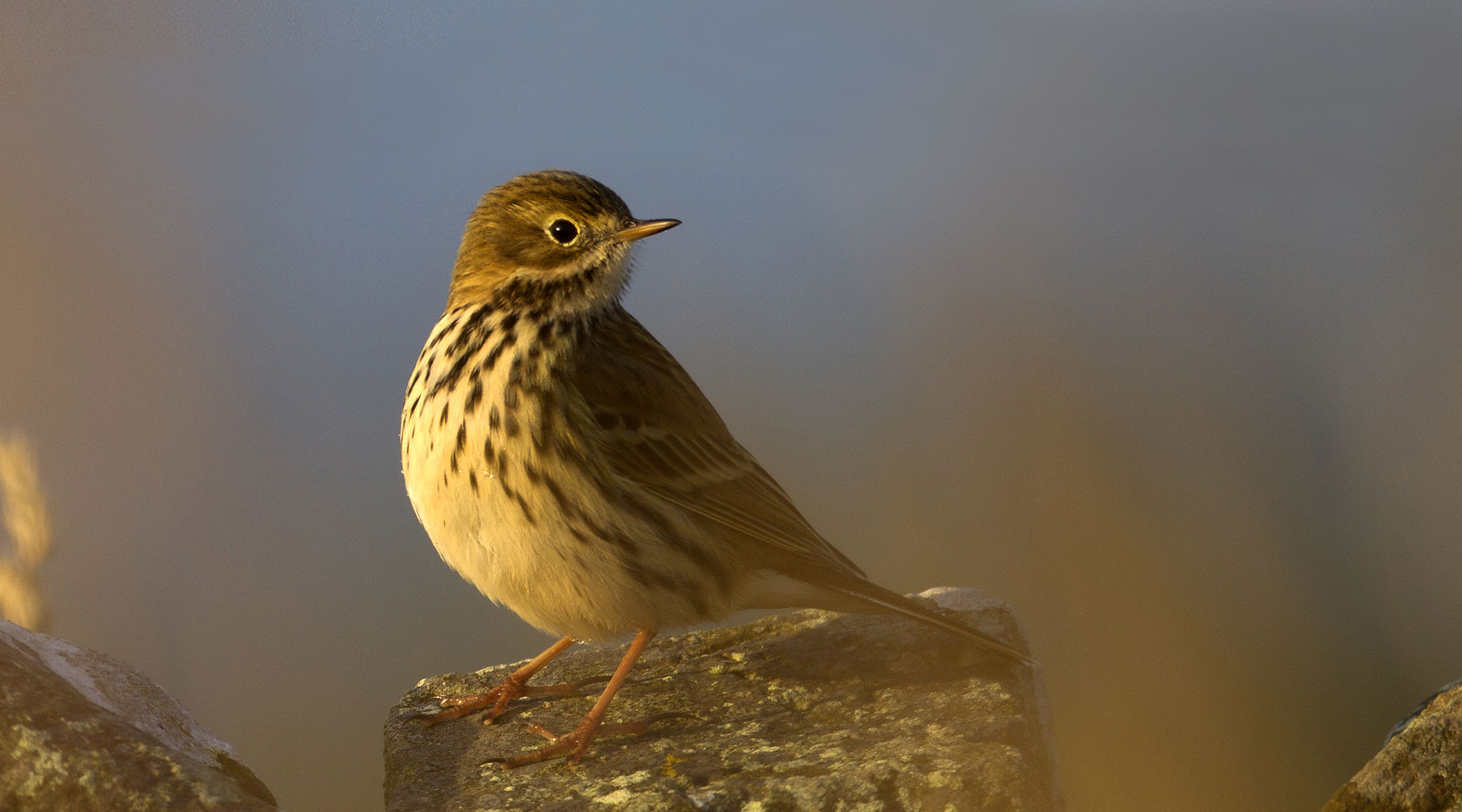 MWT | Meadow Pipit