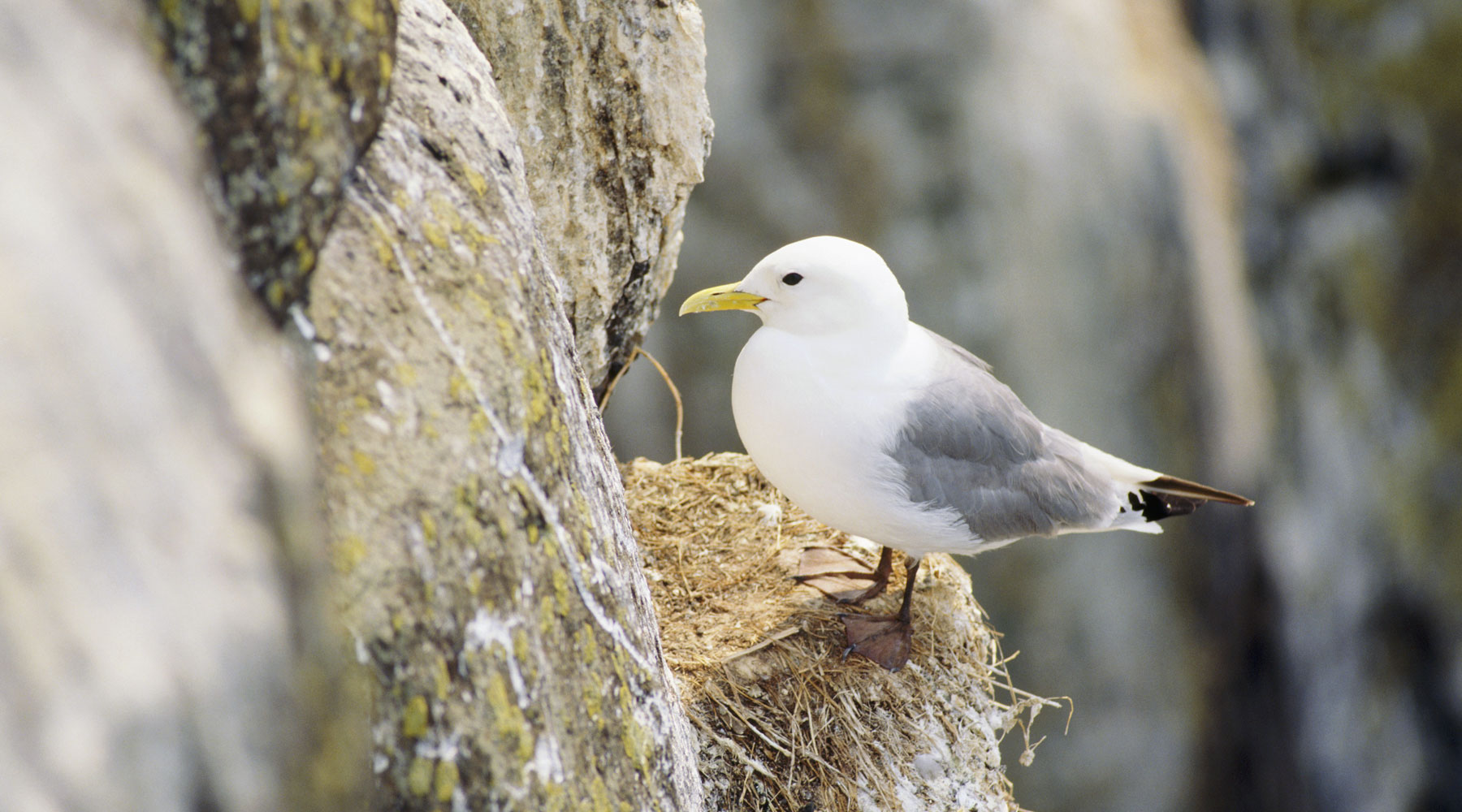 Joe Cornish National Trust Images | Kittiwake