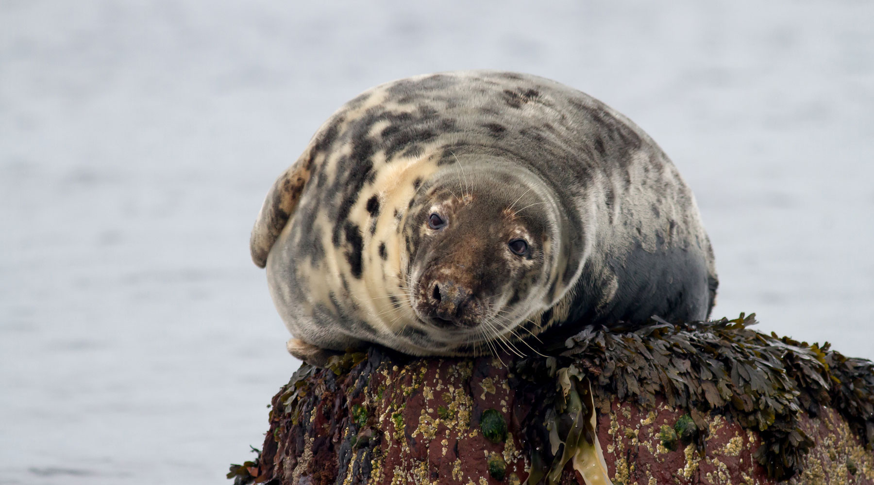 Mike Snelle | Grey Seal