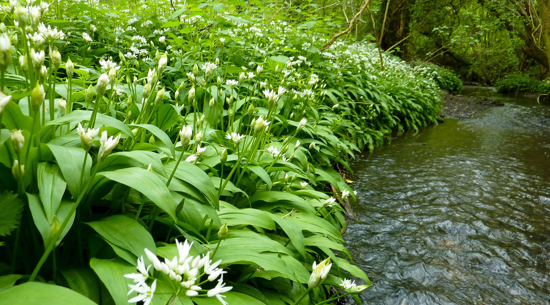 Don Sutherland | Wild Garlic