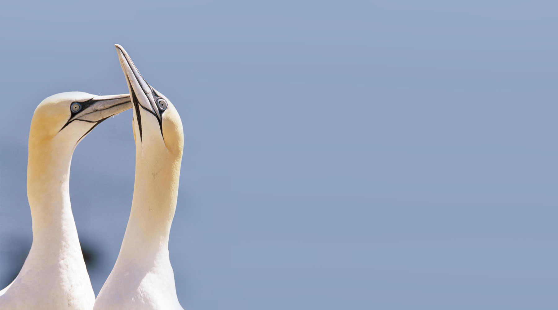 Andy Hay (rspb-images.com) | Gannets
