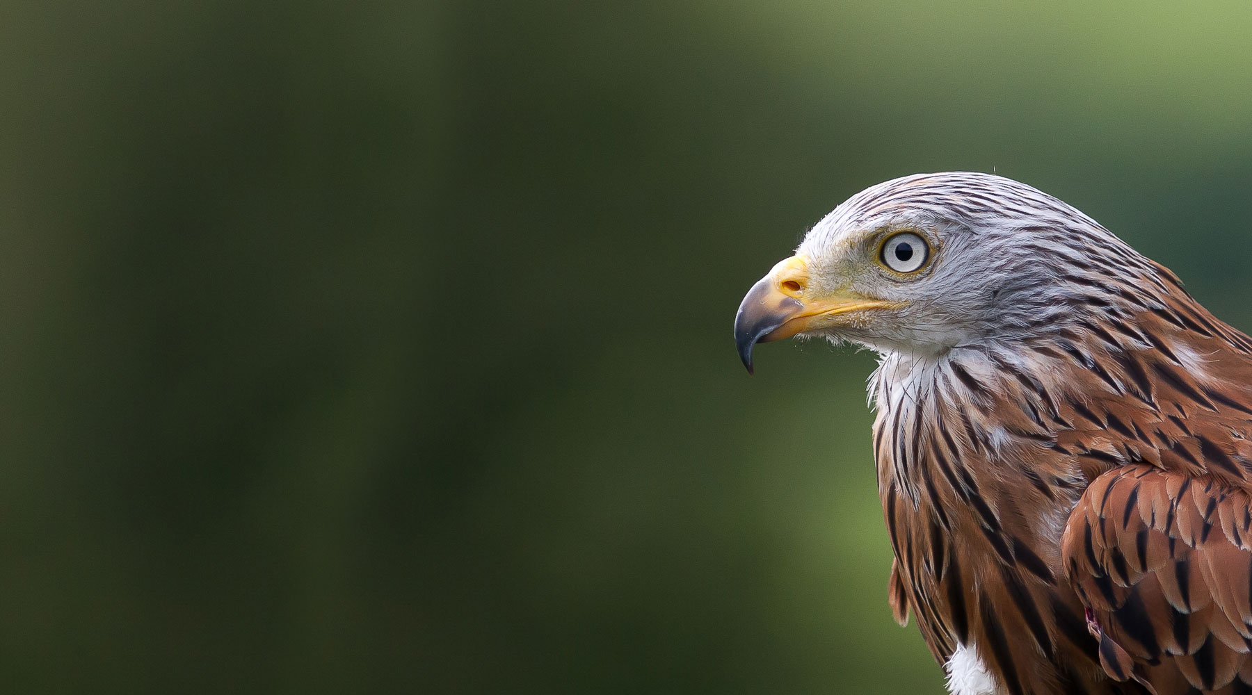 Mike Snelle | Red kite