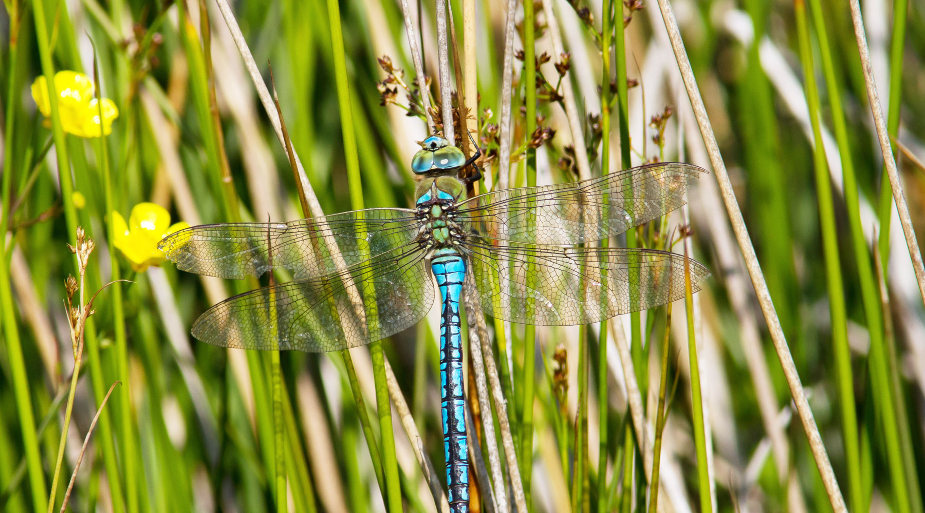 Mike Snelle | Emperor Dragonfly