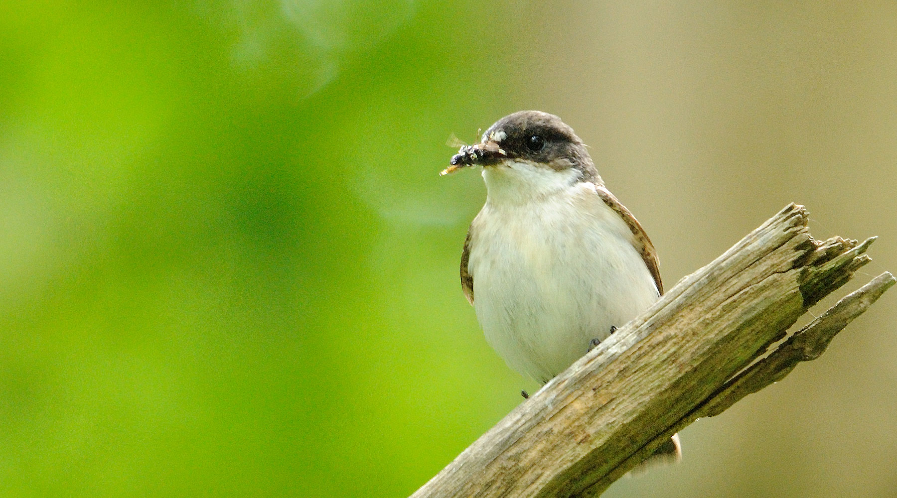 Amy Lewis | Pied Flycatcher