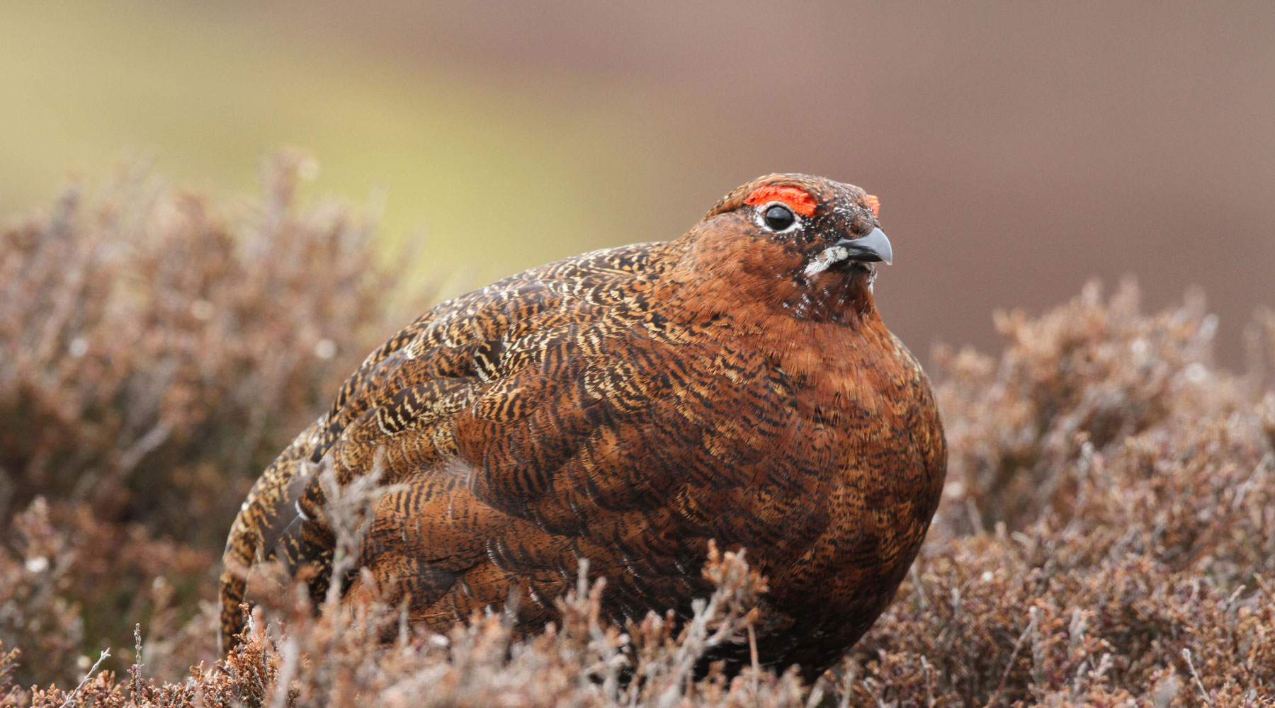 Margaret Holland | Red Grouse