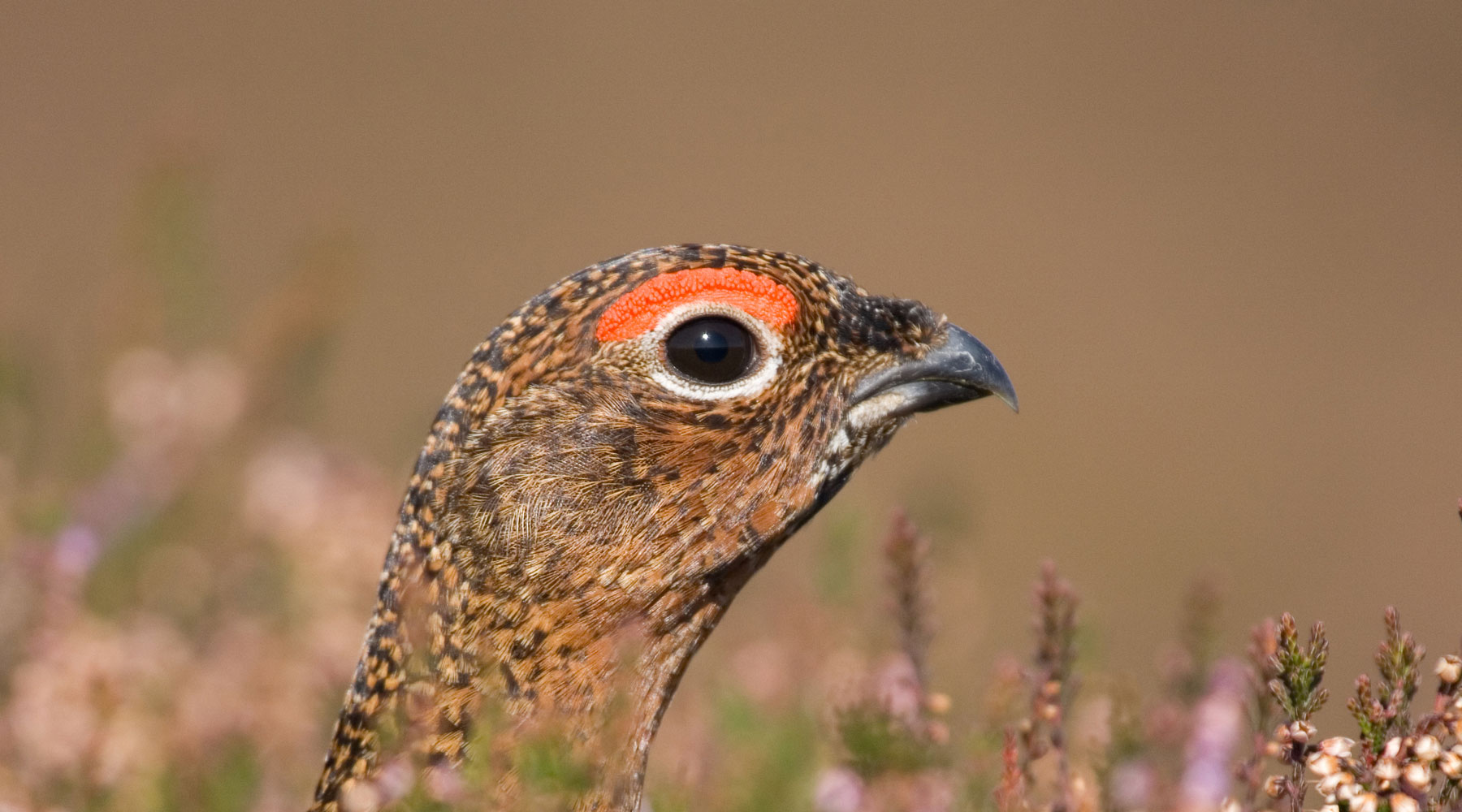 Tom Marshall | Red Grouse in Heather