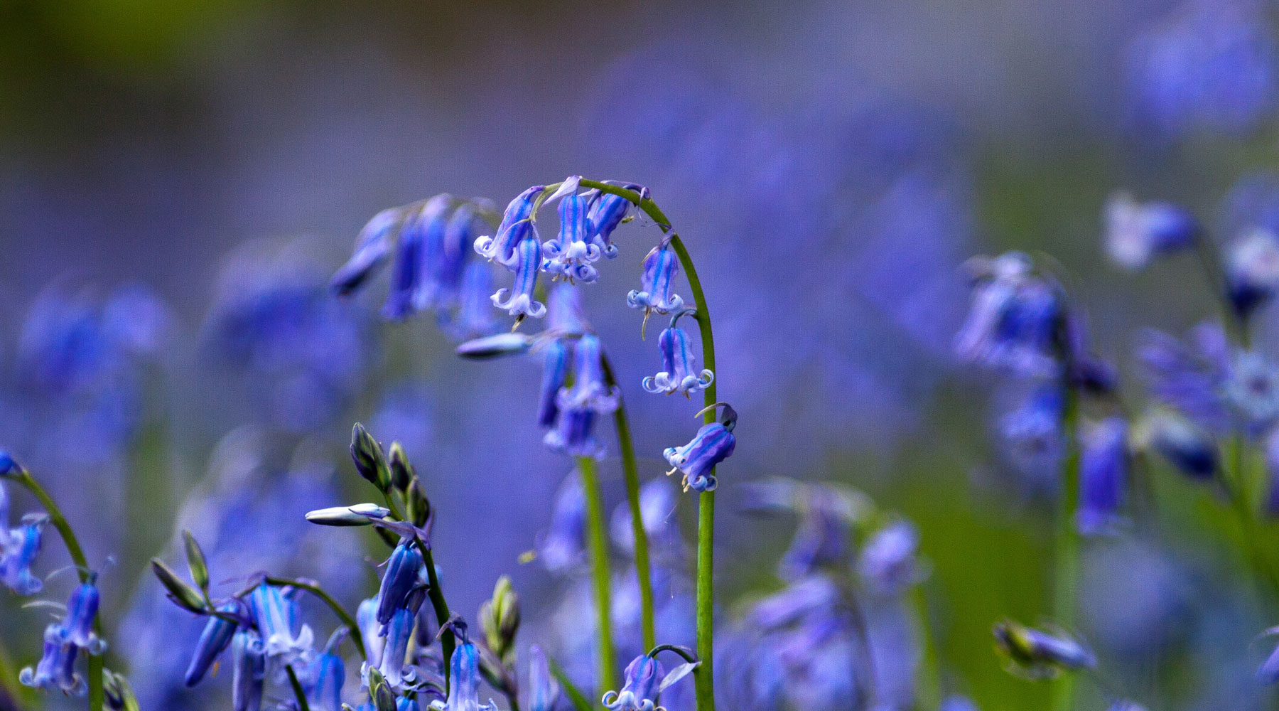 Mike Snelle | Bluebells