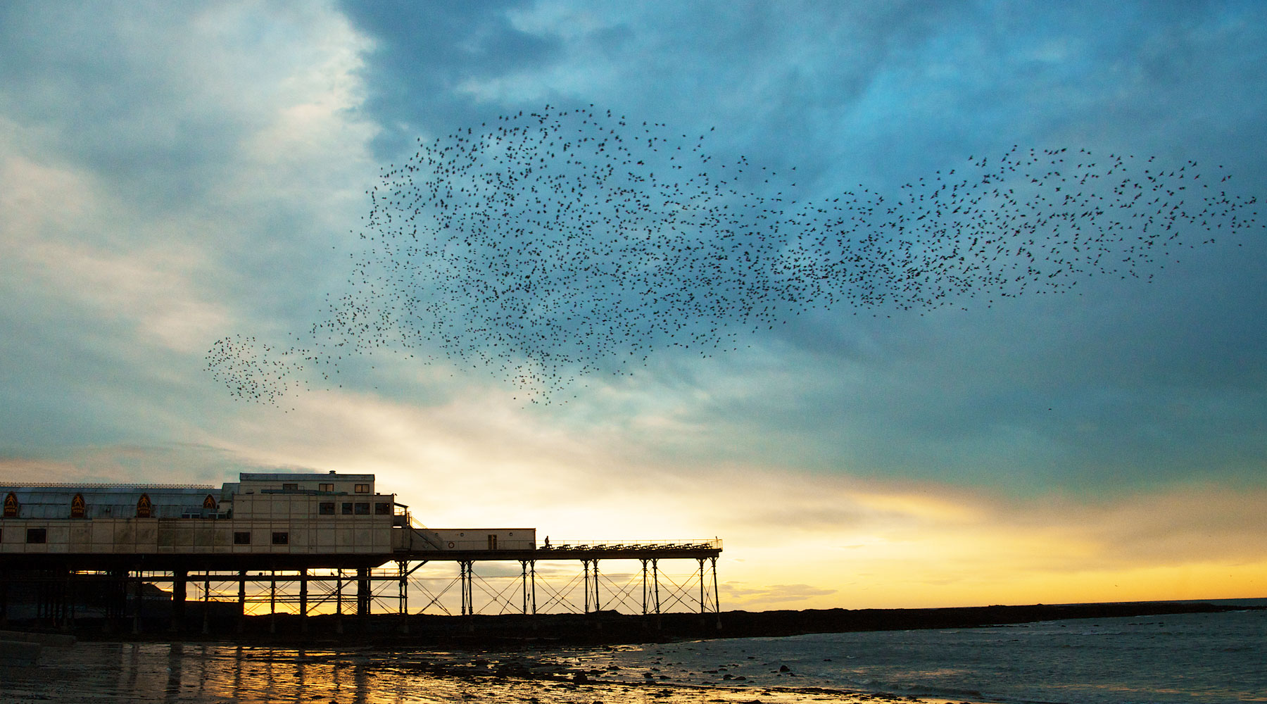 Richard Bowler | Starlings at Aberystwyth