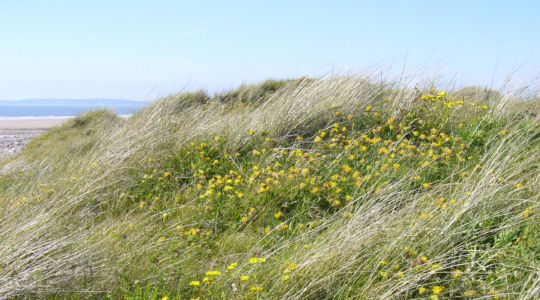 Wildlife Trust of South and West Wales | Kenfig Kidney Vetch