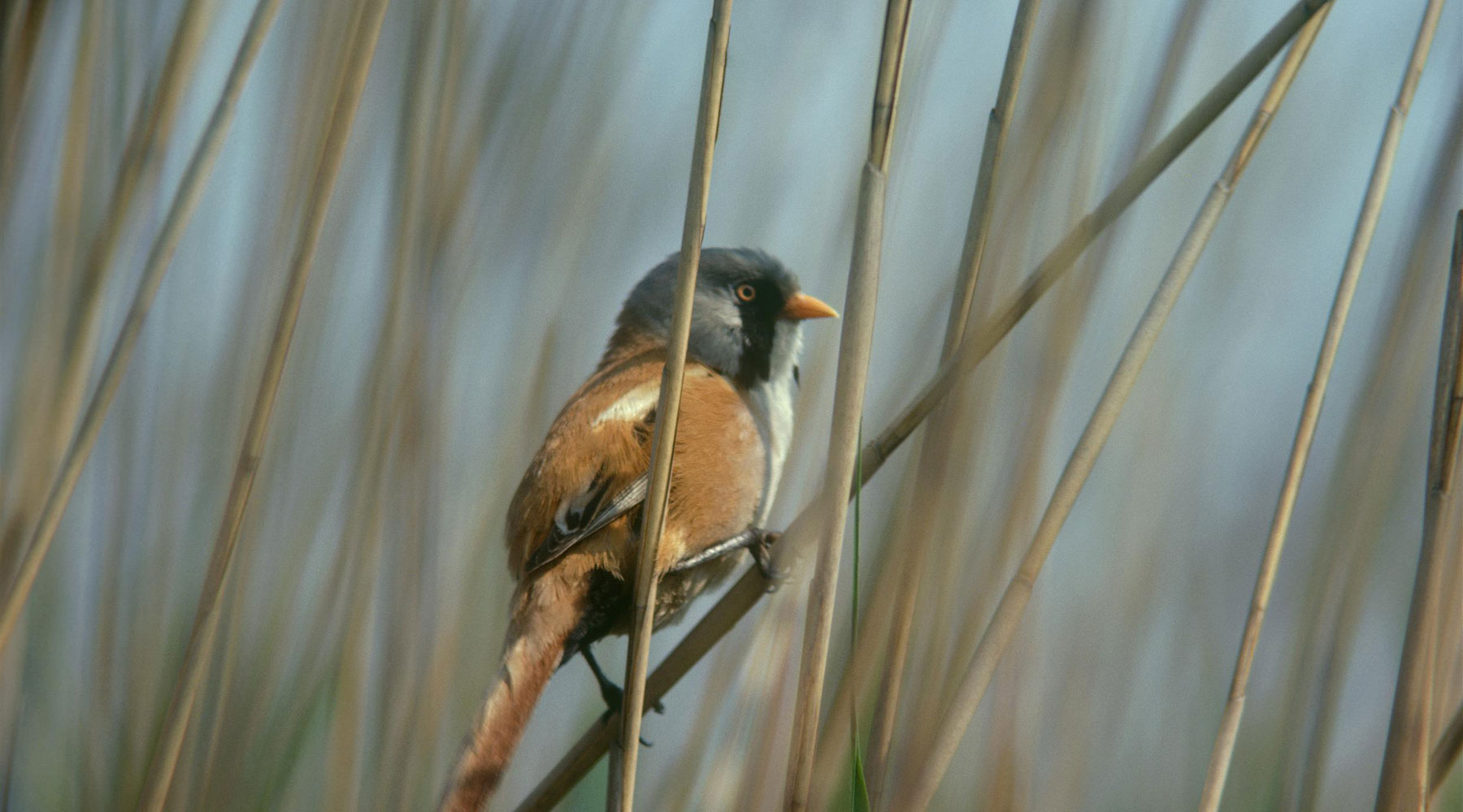 Mike Richards (rspb-images.com) | Bearded Tit