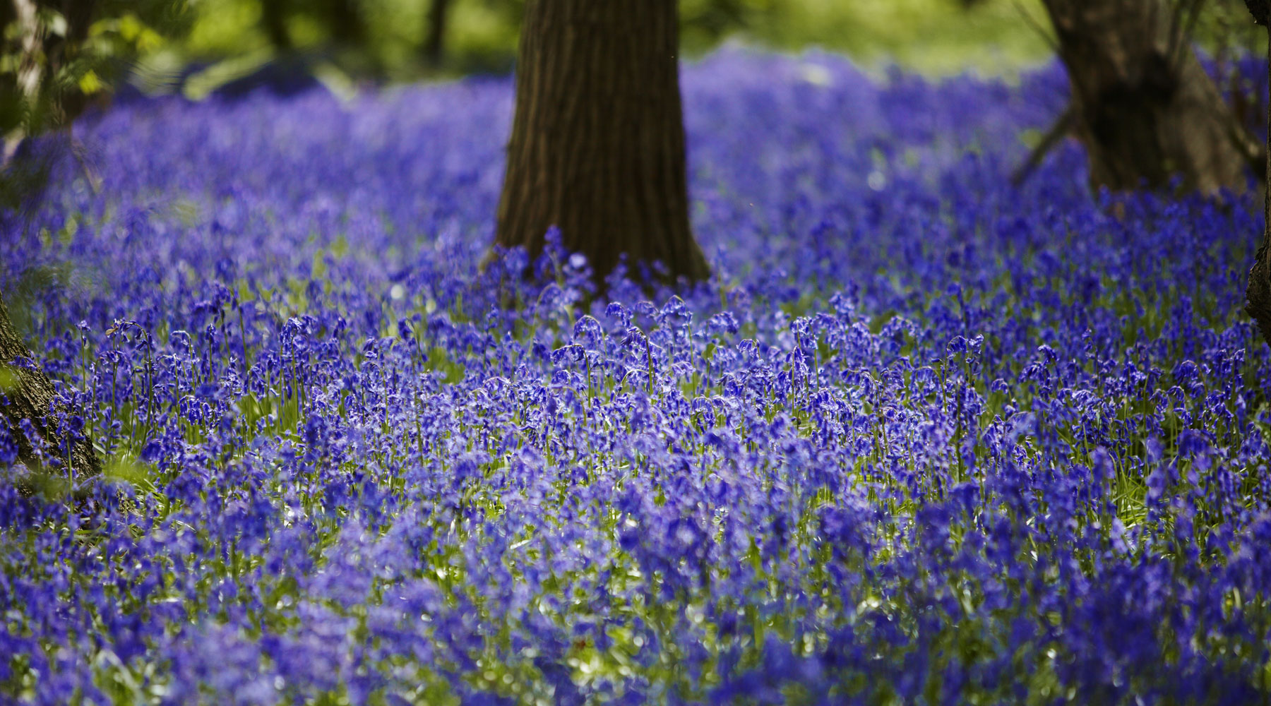 National Trust Images Arnhel de Serra | Bluebells