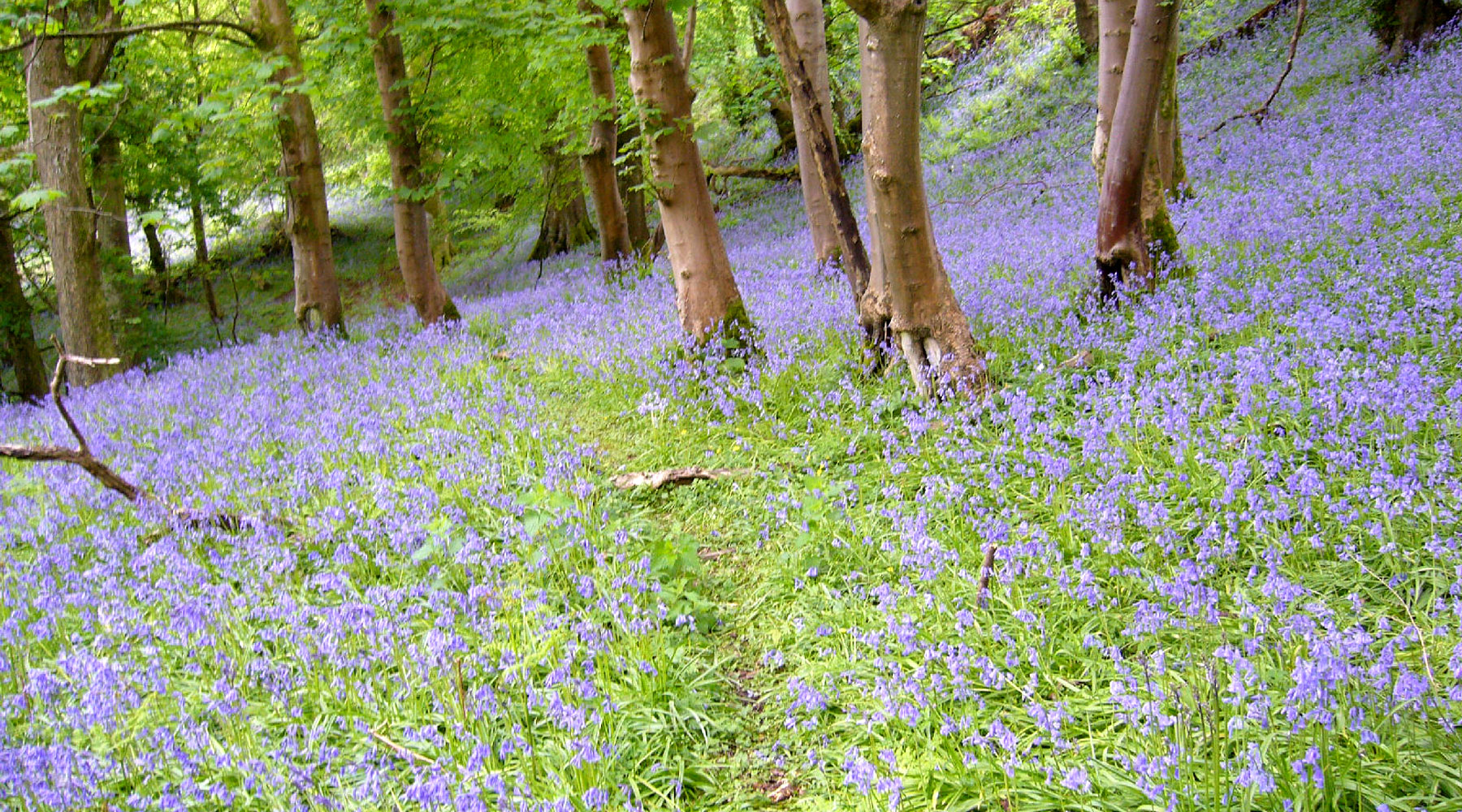 WTSWW | Bluebell Wood