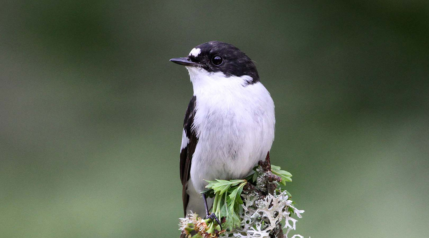 Margaret Holland | Pied Flycatcher