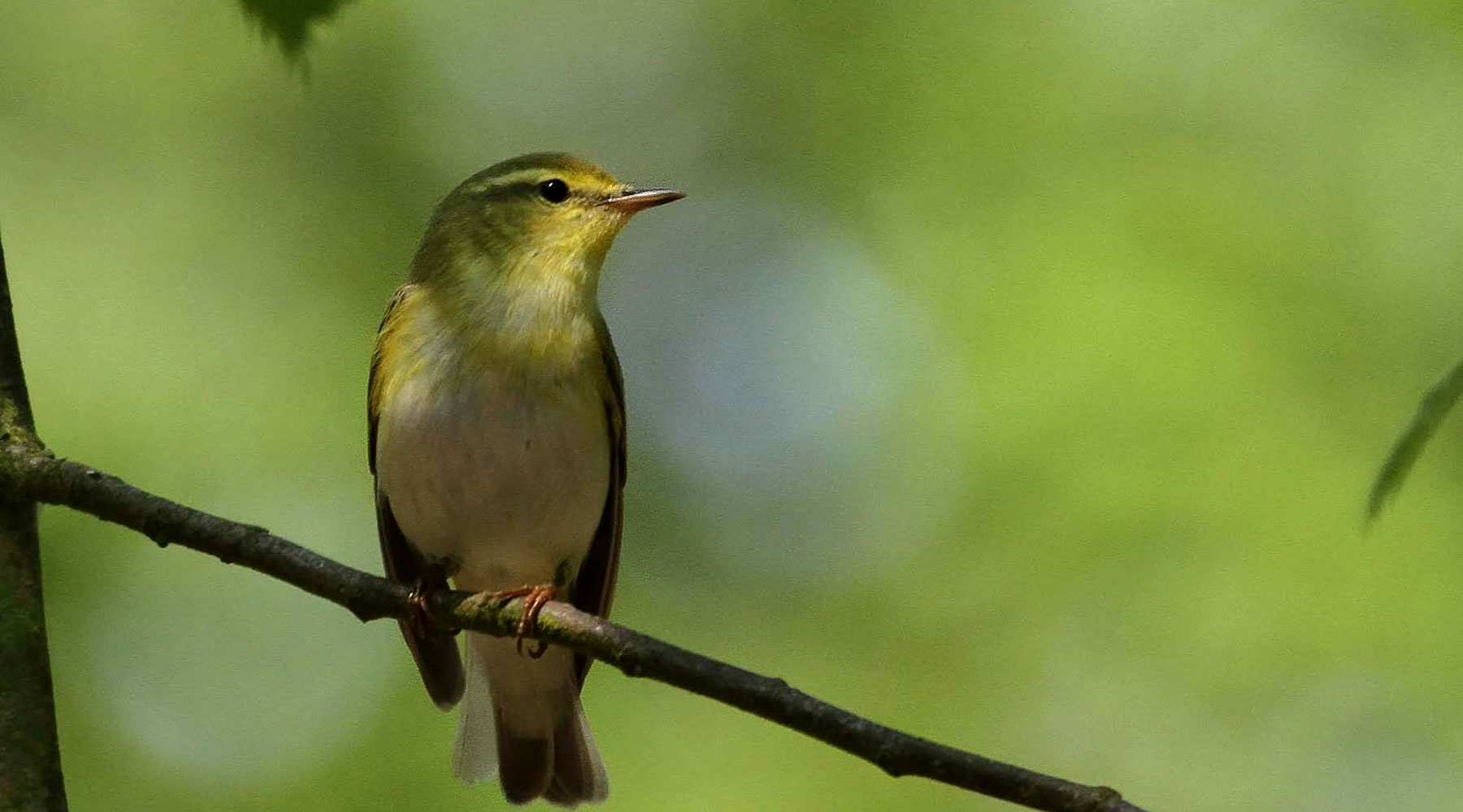 Margaret Holland | Wood Warbler