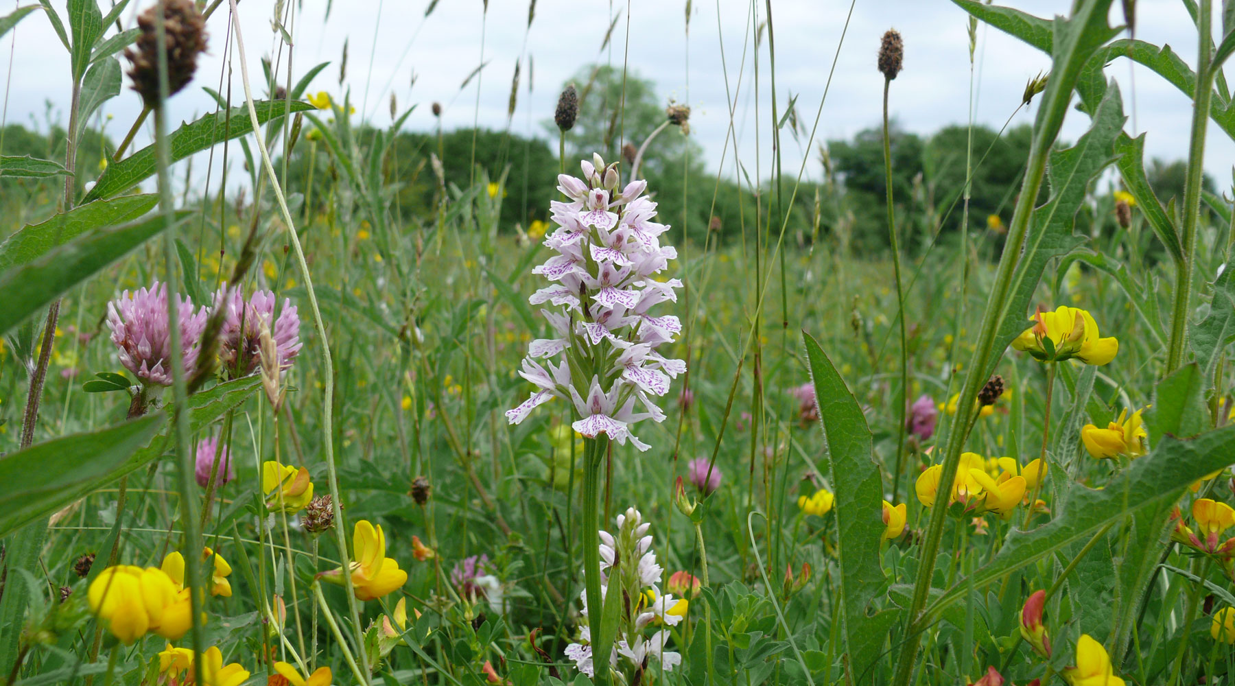 Gwent Wildlife Trust | Common Spotted Orchid