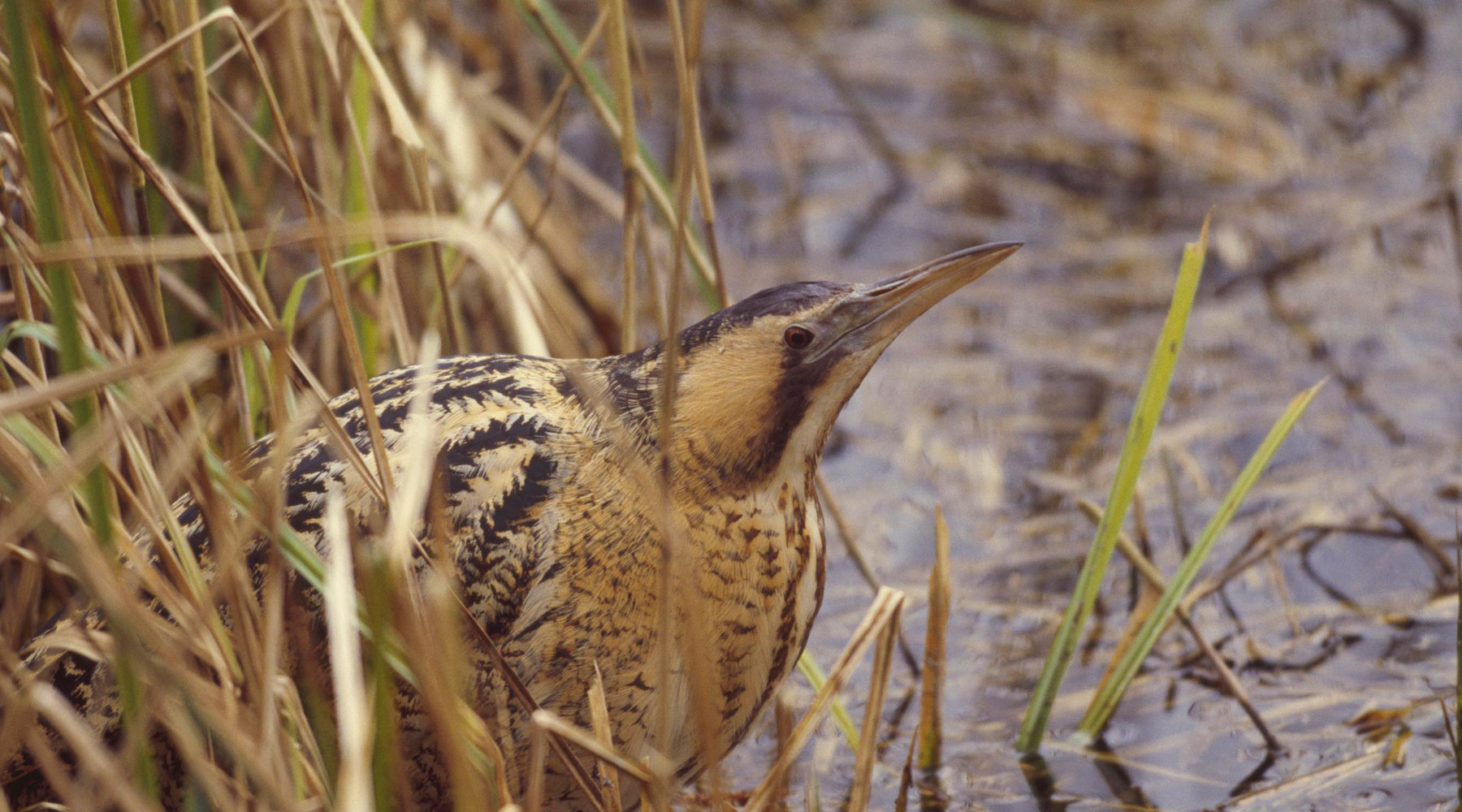 Andy Hay (rspb-images.com) | Bittern