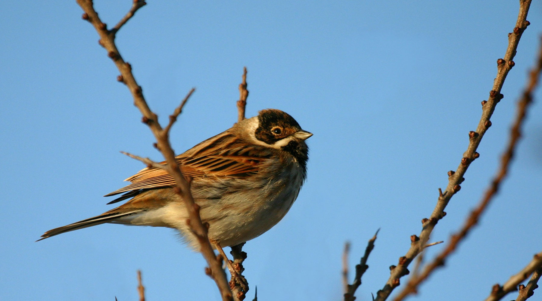 Barry Stewart | Reed Bunting