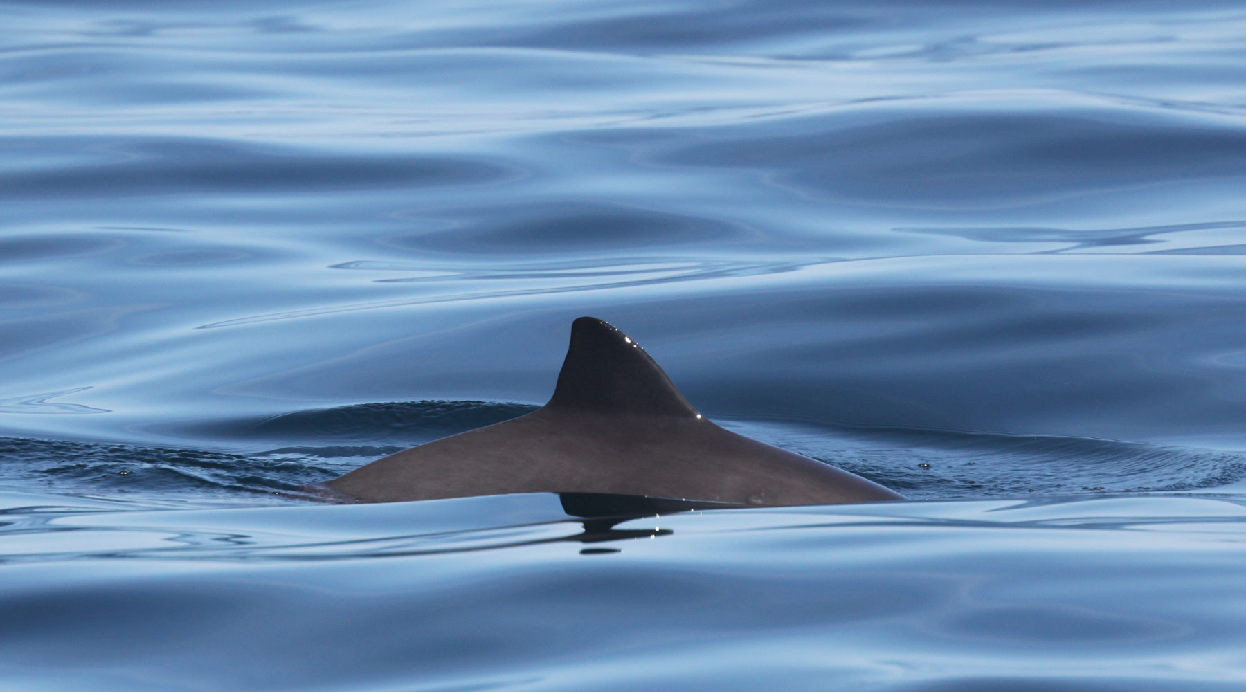 Niki Clear | Harbour Porpoise